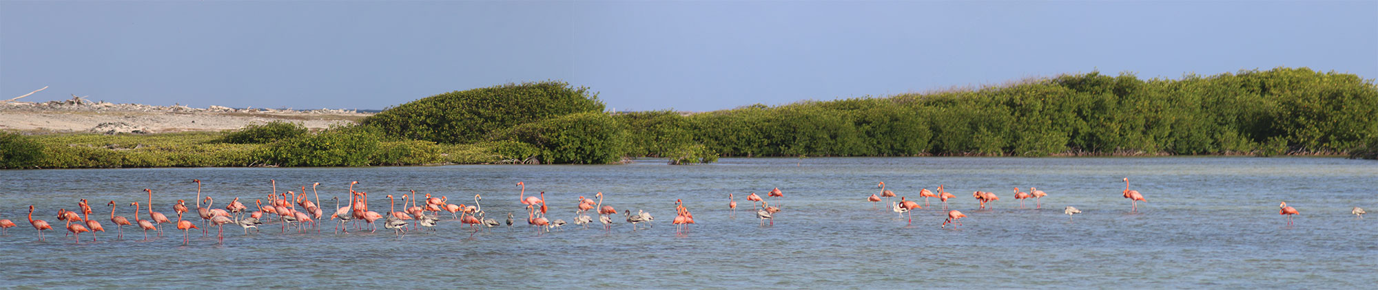 flamingos panorama